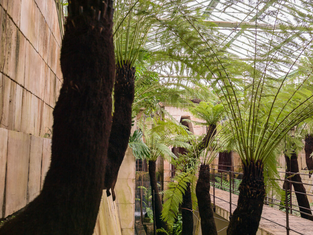 Tree ferns growing in the tropical greenhouse, Château du Champ de Bataille, Normandy, France.
