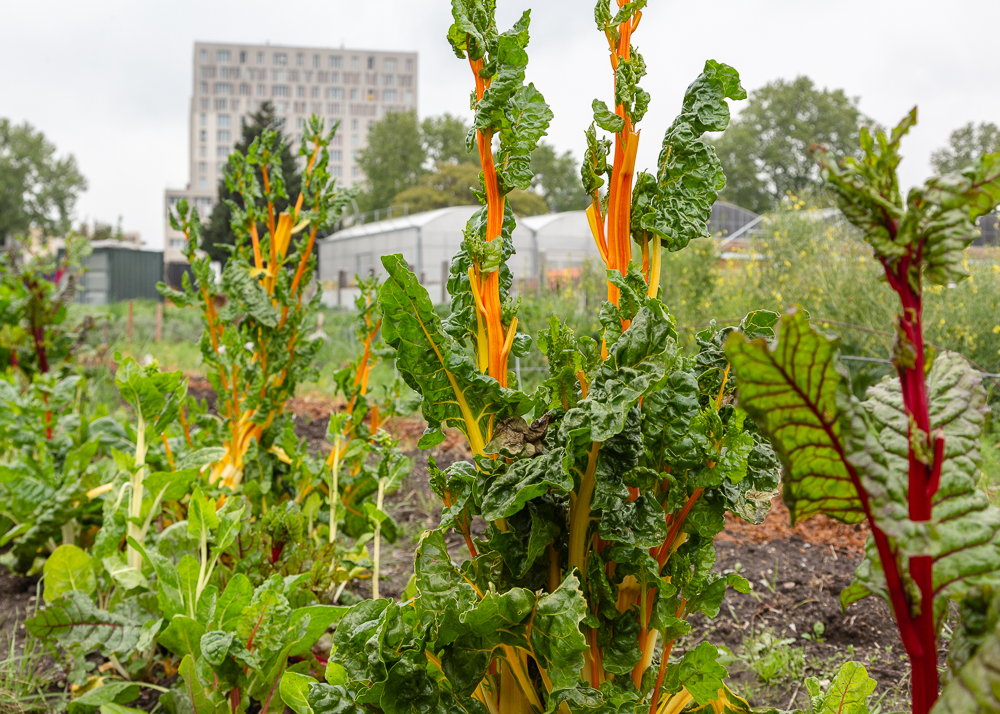 Multi-colored Swiss Chard growing in the Sensitive Zone, Urban Farme of Saint-Denis.