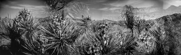 Black and white photograph of mohave yuccas and fruit, Las Vegas, Nevada. Analog photography series entitled Lieux-dits by Elise Prudhomme..