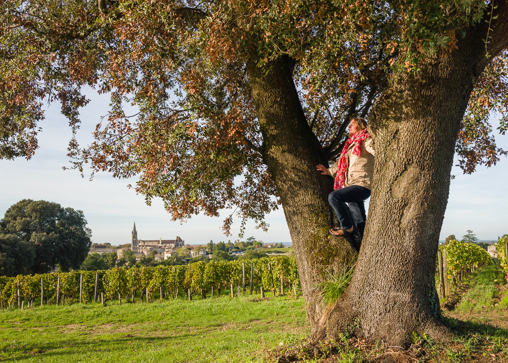 Century old oak trees at the Wine Estate Chateau Pavie Macquin,