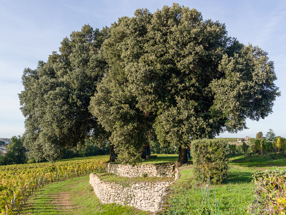 Century old oak trees at the Wine Estate Chateau Pavie Macquin, Saint Emilion, Bordeaux region, Gironde, France.