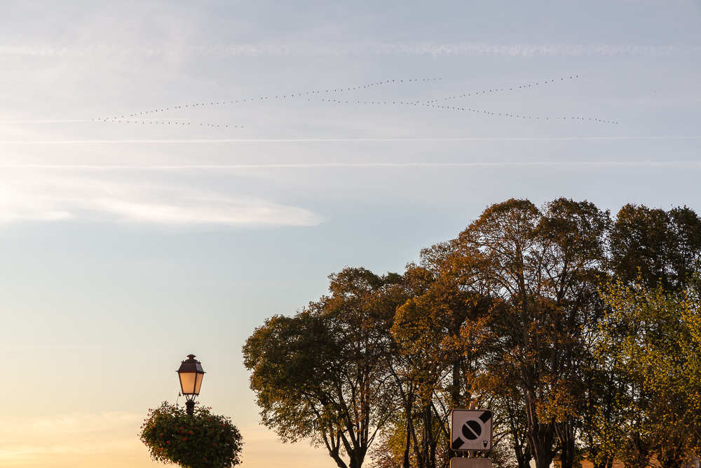 Large flock of grey herons flying in V formation over the town of Saint Emilion, Gironde, France.