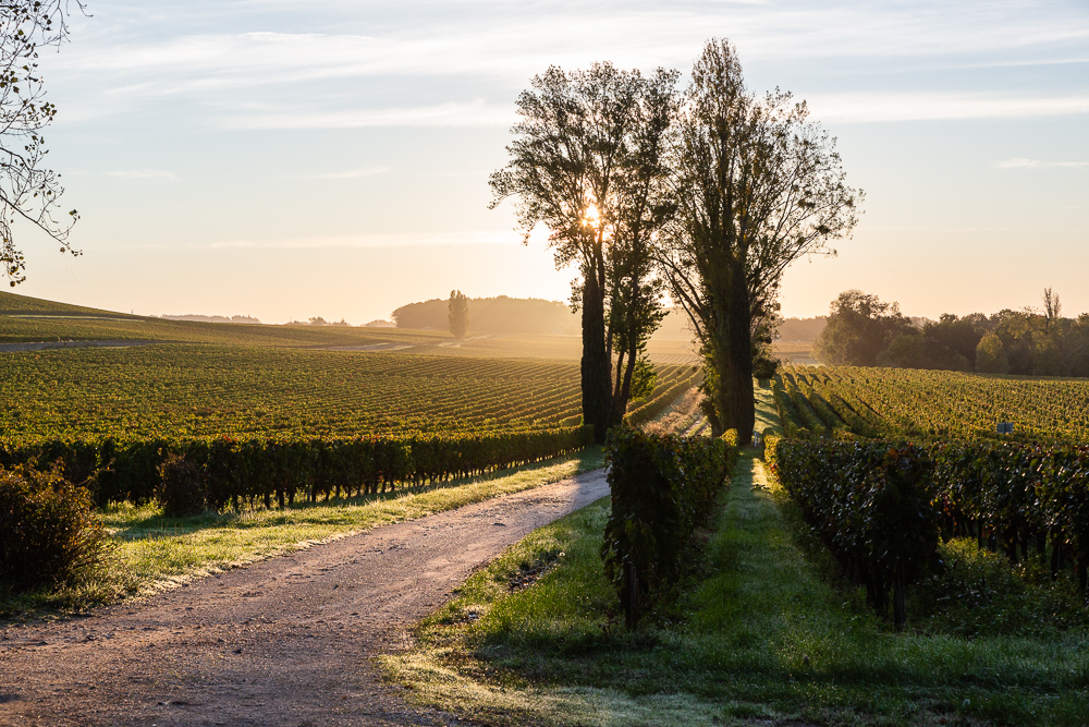 Sunrise over The Oaks of Macquin, part of Wine Estate Chateau Pavie Macquin, Saint Emilion, Bordeaux region, Gironde, France.