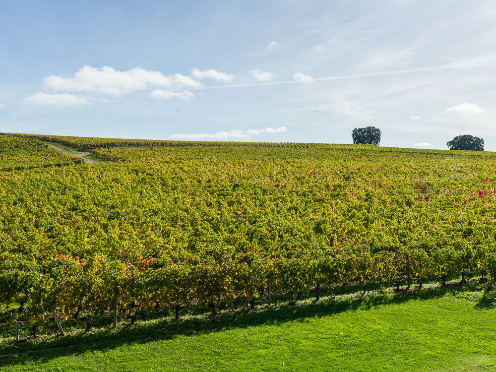 Vineyards and century oaks of Château Pavie Macquin, St Émilio